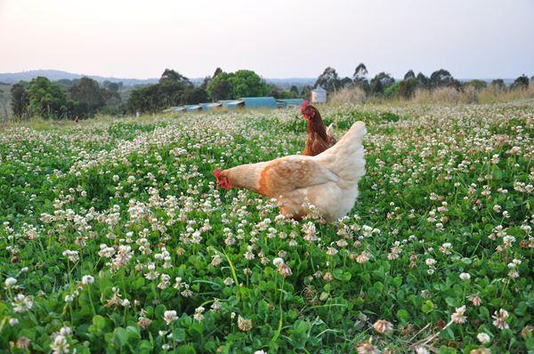 Hens foraging on the farm at Kangaroo Island Free Range Eggs
