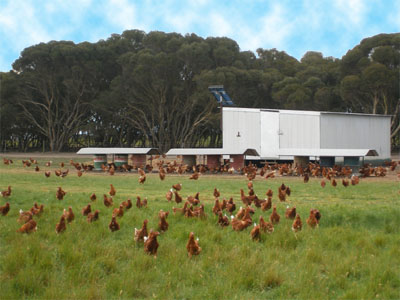 Happy chooks on the farm at Kangaroo Island Free Range Eggs