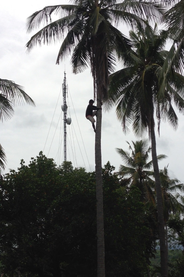 A worker harvesting coconuts is dwarfed by the palm