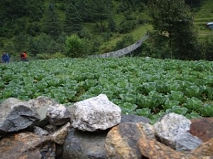 A field of cabbages and a new suspension bridge